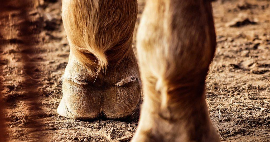 mauke beim Pferd