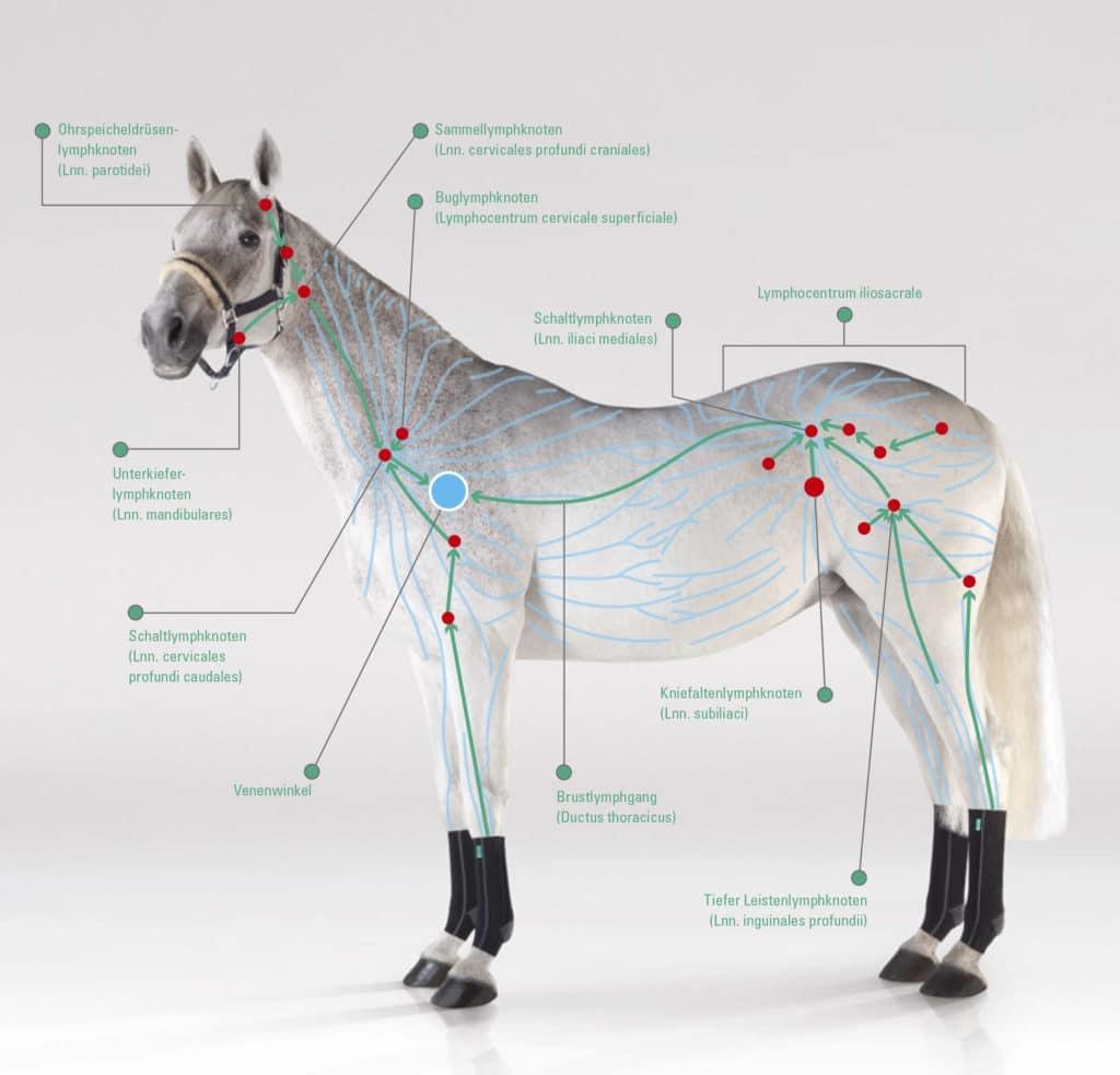 das-lymphsystem-des-pferdes