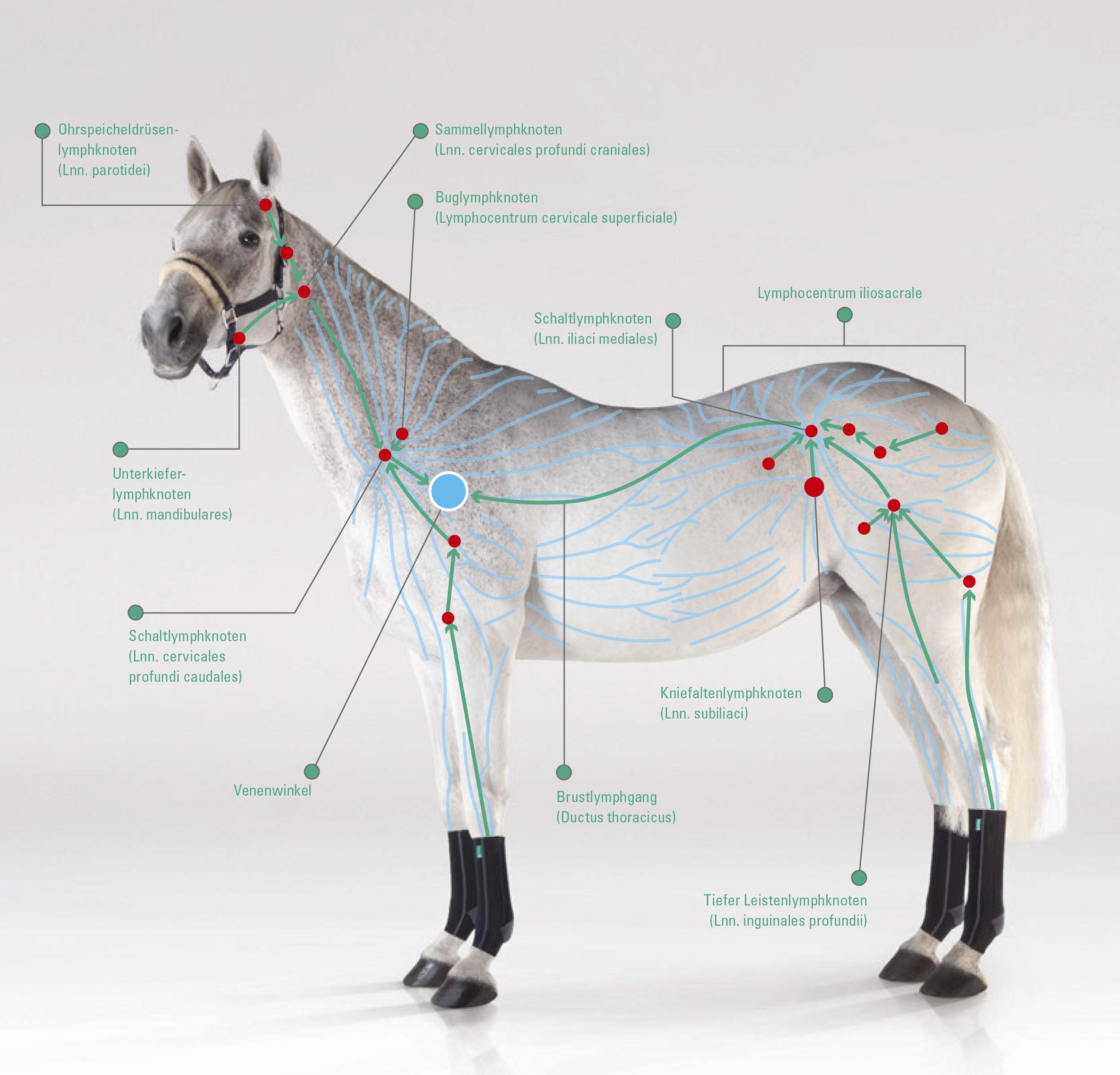 Lymphsystem des Pferdes - Lymphe, Lymphkreislauf und Wasserscheiden