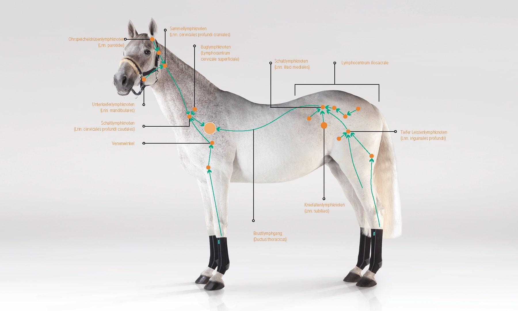 Lymphsystem Pferd