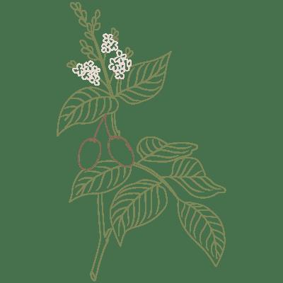 copaiba pflanze