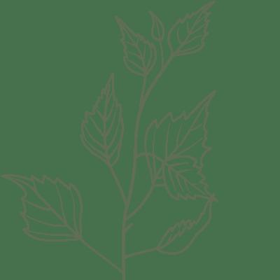 Birkenblätter Illustration